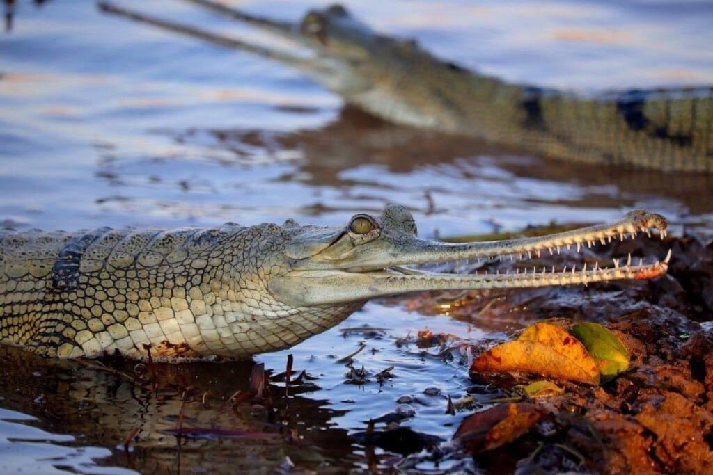 कूनो राष्ट्रीय उद्यान में घड़ीयालों की संख्या हुई 50, मादा घड़ियाल ने रेतीले तट में दिये अंडे