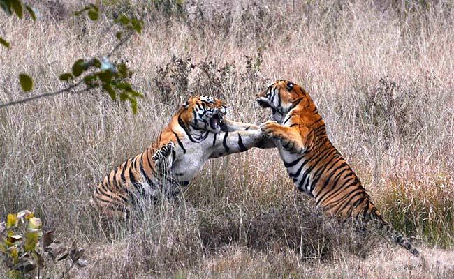 कान्हा टाइगर रिजर्वः बाघों की आपसी लड़ाई में नर बाघ की हुई मौत