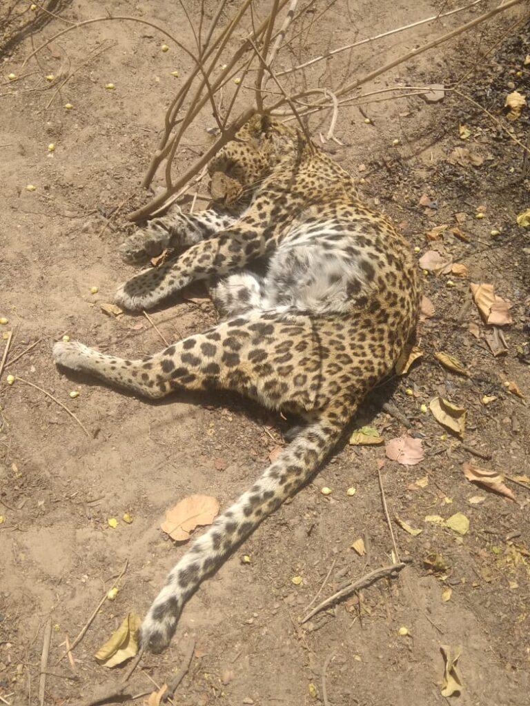 तेंदुआ खा रहा था बछडे को आ गई मादा तेंदुआ, आपसी संघर्ष में तेंदुआ की हुई मौत