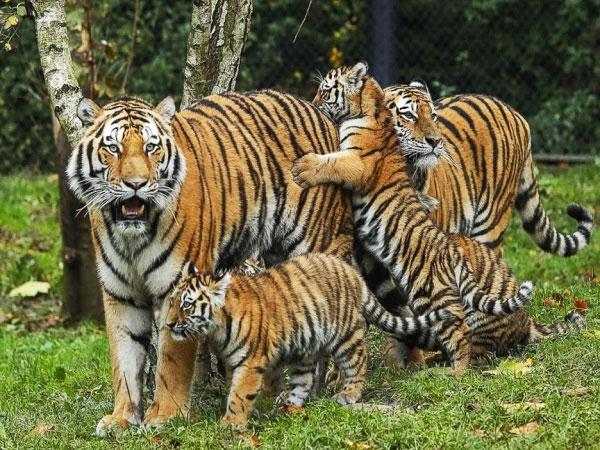 M.P.Tiger State : मध्यप्रदेश के पास है टाइगर स्टेट का गौरवशाली और जवाबदारी भरा ताज