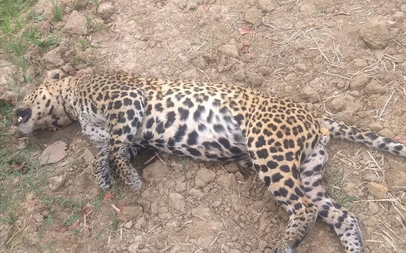 अपडेट ब्रेकिंग सिवनीः वयस्क तेंदुए की मौत, जांच में जुटा अमला